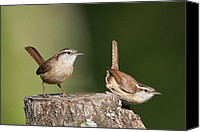 Carolina Wren Canvas Prints - Carolina Wrens Canvas Print by Bonnie Barry