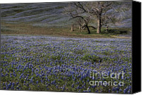 Bluebonnets Canvas Prints - Carpet of Blue Canvas Print by Fred Lassmann
