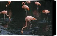 Property Released Photography Canvas Prints - Carribean Flamingoes At The Sedgwick Canvas Print by Joel Sartore