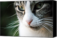 Arkansas Canvas Prints - Cat Portrait Canvas Print by Julia Williams