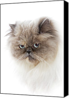 Animal Head Shot Canvas Prints - Cat With Long Hair Canvas Print by www.WM ArtPhoto.se