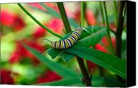 Monarch  Canvas Prints - Caterpillar Before The Butterfly 1 Canvas Print by Andee Photography