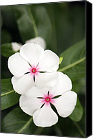 Vinca Flowers Canvas Prints - Catharanthus Roseus Canvas Print by Maria Mosolova