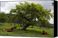 Holm Canvas Prints - Cattle Under A Holm Oak Tree Canvas Print by Bob Gibbons