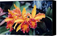 Cattleya Canvas Prints - Cattleya Orchids Canvas Print by Allan Seiden - Printscapes
