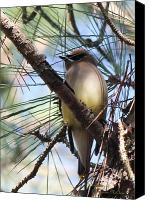 Signed Digital Art Canvas Prints - Cedar Waxwing 5655-I Canvas Print by Suzanne  McClain