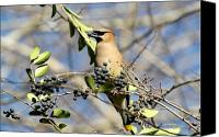 Signed Digital Art Canvas Prints - Cedar Waxwing 5704-I Canvas Print by Suzanne  McClain