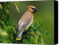 Critters Canvas Prints - Cedar Waxwing Canvas Print by Ben Upham