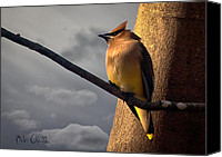 Moody Canvas Prints - Cedar Waxwing Canvas Print by Bob Orsillo