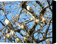 Bird Family Canvas Prints - Cedar Waxwing Family Canvas Print by Jai Johnson