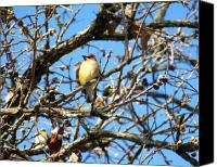 Bird Family Canvas Prints - Cedar Waxwing I Canvas Print by Jai Johnson
