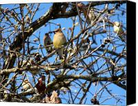 Bird Family Canvas Prints - Cedar Waxwing II Canvas Print by Jai Johnson