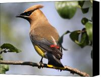 Ornithology Canvas Prints - Cedar Waxwing Canvas Print by Lauri Novak