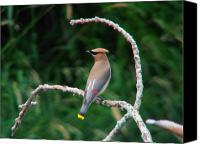 Mayfly Eater Canvas Prints - Cedar Waxwing on the Swing Canvas Print by Thomas Young