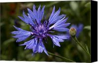 Bluet Canvas Prints - Centaurea Cyanus, The Cornflower, Or Canvas Print by Stephen Sharnoff