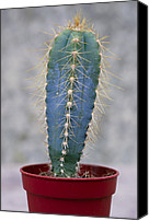 Cereus Canvas Prints - Cereus Cactus (cereus Validus) Canvas Print by Maxine Adcock