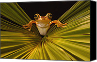 Fun Frog Canvas Prints - Chachi Tree Frog Hyla Picturata, Choco Canvas Print by Pete Oxford