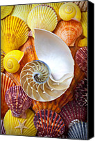 Sea Shells Canvas Prints - Chambered nautilus  Canvas Print by Garry Gay