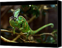 Chameleon Canvas Prints - Chameleon Canvas Print by 1d110
