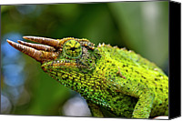 Chameleon Canvas Prints - Chameleon Canvas Print by Bill Adams - MomentsNow.com