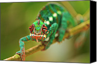 Chameleon Canvas Prints - Chameleon Canvas Print by Picture by Tambako the Jaguar