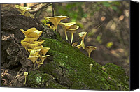 Mushroom Canvas Prints - Chanterelles 8681 Canvas Print by Michael Peychich