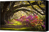 Live Oaks Canvas Prints - Charleston SC Magnolia Plantation Gardens - Memory Lane Canvas Print by Dave Allen