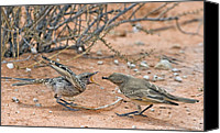 Chat Canvas Prints - Chat Flycatcher Feeding Its Chick Canvas Print by Tony Camacho