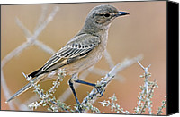 Chat Canvas Prints - Chat Flycatcher On A Branch Canvas Print by Tony Camacho