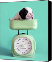 French Bulldog Canvas Prints - Checking Puppy Weight Canvas Print by Retales Botijero