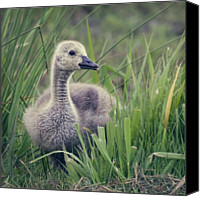 Goose Canvas Prints - Cheeky Goose With His Tongue Out Canvas Print by BlackCatPhotos