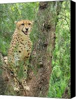 Bigcat Canvas Prints - Cheetah 1 Canvas Print by Mary Ivy