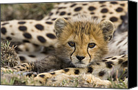 Animals And Earth Canvas Prints - Cheetah Acinonyx Jubatus Cub Portrait Canvas Print by Suzi Eszterhas