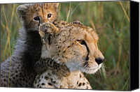 Acinonyx Canvas Prints - Cheetah Acinonyx Jubatus Eight Week Old Canvas Print by Suzi Eszterhas