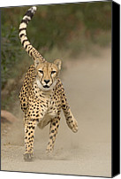 Acinonyx Canvas Prints - Cheetah Acinonyx Jubatus In Mid-stride Canvas Print by San Diego Zoo