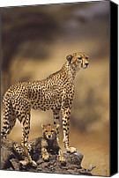 Acinonyx Canvas Prints - Cheetah Acinonyx Jubatus Mother With Canvas Print by Gerry Ellis