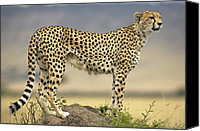 Acinonyx Canvas Prints - Cheetah Acinonyx Jubatus On Termite Canvas Print by Winfried Wisniewski