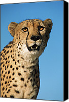 Acinonyx Canvas Prints - Cheetah Acinonyx Jubatus Portrait Canvas Print by Ingo Arndt