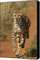Acinonyx Canvas Prints - Cheetah Acinonyx Jubatus Rescued Canvas Print by Suzi Eszterhas