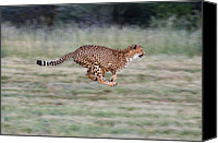 Acinonyx Canvas Prints - Cheetah Acinonyx Jubatus Running Canvas Print by Suzi Eszterhas