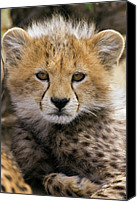 Animals Canvas Prints - Cheetah Acinonyx Jubatus Ten To Twelve Canvas Print by Suzi Eszterhas
