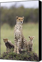 Acinonyx Canvas Prints - Cheetah Mother And Cubs Canvas Print by Suzi Eszterhas