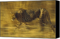 Animals Canvas Prints - Cheetah Running Through Dry Grass Canvas Print by Tim Fitzharris