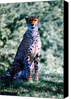 Kansas City Canvas Prints - Cheetah Canvas Print by Steve Karol