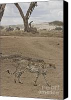 Kenya Canvas Prints - Cheetah Walks by On Looking Zebra Canvas Print by Darcy Michaelchuk