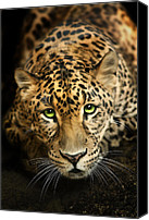 Tampa Digital Art Canvas Prints - Cheetaro Canvas Print by Big Cat Rescue
