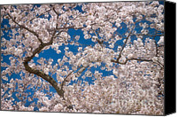 Cultivation Canvas Prints - Cherry Blossom Branches Canvas Print by Susan Isakson