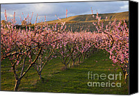 Farm Canvas Prints - Cherry Blossom Pink Canvas Print by Mike  Dawson