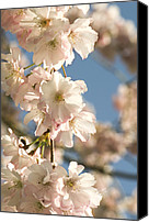 Accolade Canvas Prints - Cherry Blossom (prunus accolade) Canvas Print by Adrian Thomas