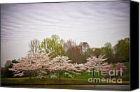 Cultivation Canvas Prints - Cherry Blossoms at Meadowlark Canvas Print by Susan Isakson